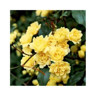 Rosier Banksiae Lutea sur échelle – Pot de 6L 375046