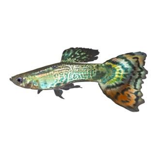 Guppy mâle super delta de 3,5 à 4,5 cm 378633