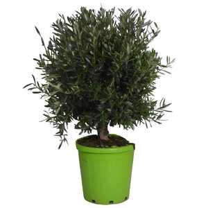 Olivier Olea Europaea – Pot vert de 30L 378899