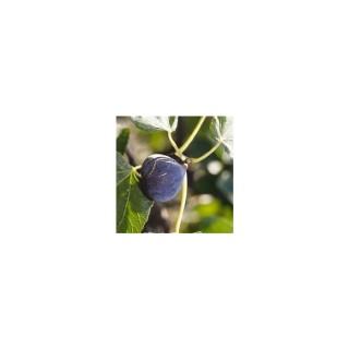Figuier Carica Tige 30/40 coupe bonsaï en conteneur de 15 L 378904