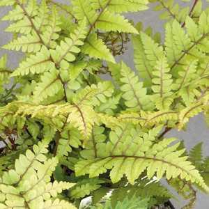 Athyrium othophorum okanum. Le pot de 9x9 cm 379640
