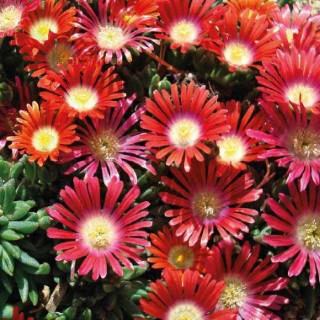 Delosperma dyeri red mountain rouge. Le pot de 9x9 cm 379641