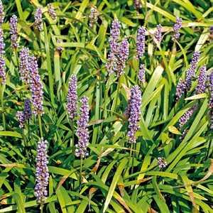 Liriope muscari bleu. Le pot de 9x9 cm 379646