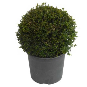 Chèvrefeuille arbustif en pot de 5 litres 380173