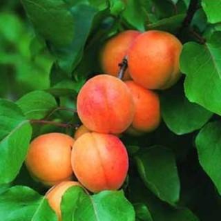 Abricotier rouge du Roussillon 1/2 tige 18/20 en conteneur de 35 L 380645