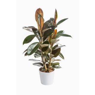 Ficus Elastica Abidjan H 50 cm en pot Ø 20 cm 380934