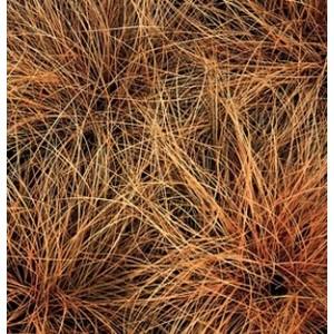 carex flagellifera bronzita. Le pot diam 12 cm 257724