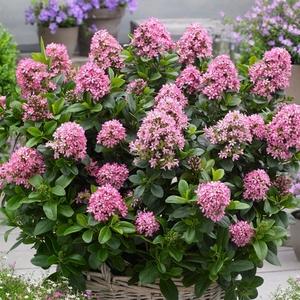 Escallonia Laevis Pink Elle rose en pot de 3 L 387020