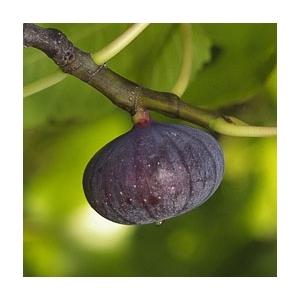Figuier Violette de Sollies Bio en conteneur de 5 L 387066