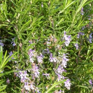 Rosmarinus Officinalis ou Romarin bleu 25/30 cm en pot de 3 L 387291