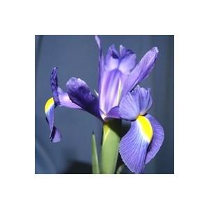 Iris Bulbeux. Le pot de 10.5 cm 875440