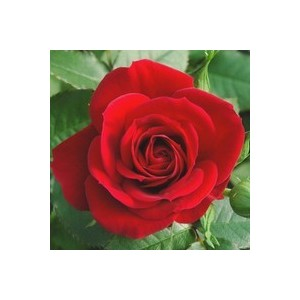 Rosier Miniature ¼ de tige - Pot de 5L 177889