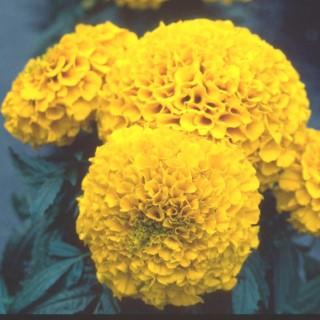 Rose d'Inde multicolore en pot de 1 L Ø 13-15 791237