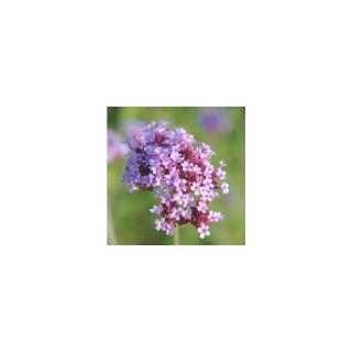 Verbena Bonariensis compacte. Le pot de 3 litres 390062