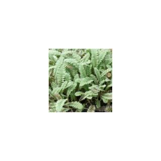 leptinella squalida platt's black. Le pot de 1 litre 390234