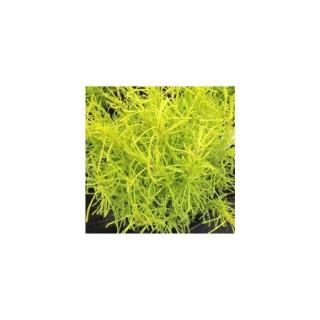 Santoline dorée jaune en pot de 1 L 390235