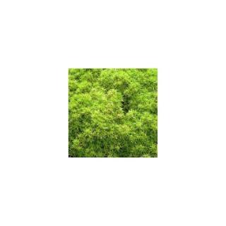Sclaranthus uniflorus vert en pot de 1 L 390236