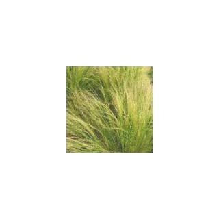 Stipa cheveux d'anges vert en pot de 1 L 390237
