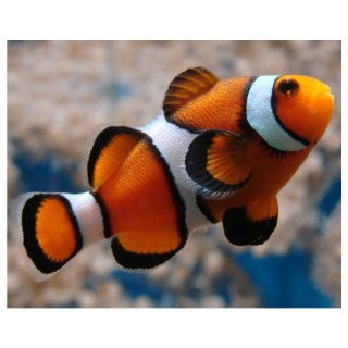 Amphiprion ocellaris 394577