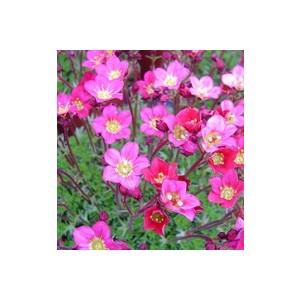 Saxifrage mousse rose en pot de 1 L 348331