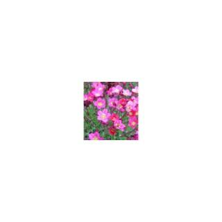 Saxifrage elf rose en pot de 1 L 857490