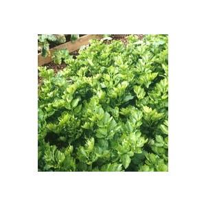 Céléri Rave Ibis. La barquette de 6 plants 489112