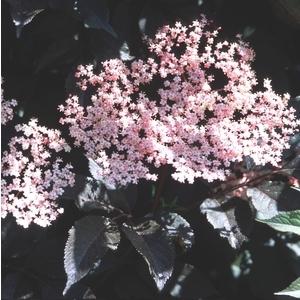 Sambucus Nigra Black Beauty – Pot de 5L 961108
