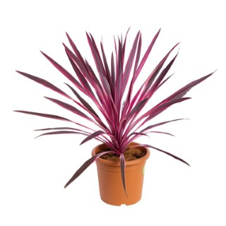 Cordyline Australis Red Star en pot de 9 L rouge 396431