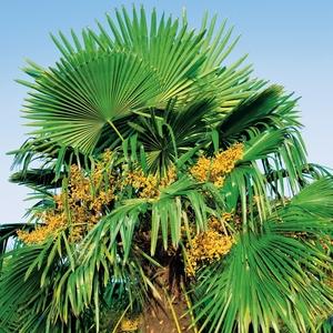 Palmier de Chine - pot 20 L 397398