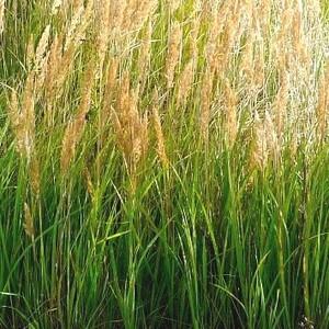 Calamagrostis. Le pot de 3 litres 101241