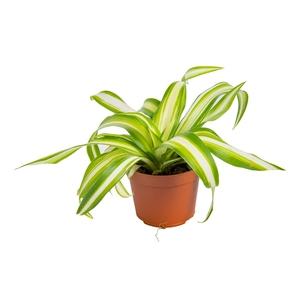 Phalangère ou Chlorophytum Laxum en pot H 10 x Ø 6 cm 398306