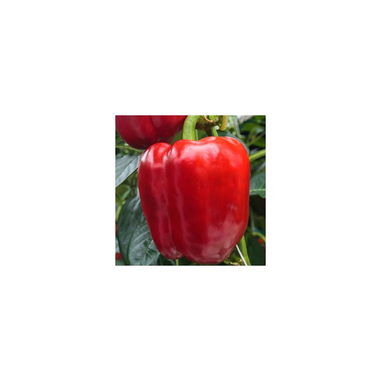 Poivron rouge bio de France ou Espagne - Prix au kg 300945