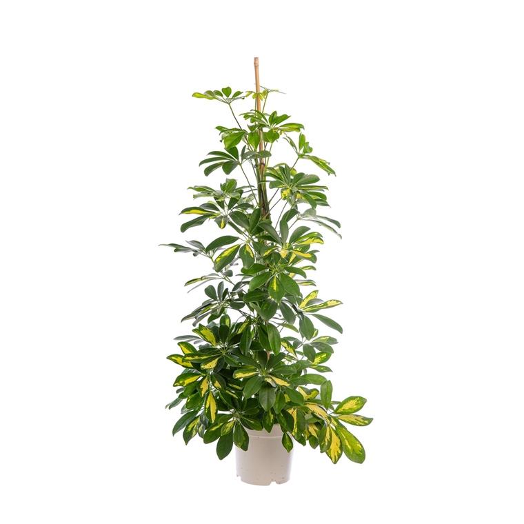 Schefflera Arboricola Gold Capella ou Arbre parapluie pot Ø20 cm/ H120 cm 302908