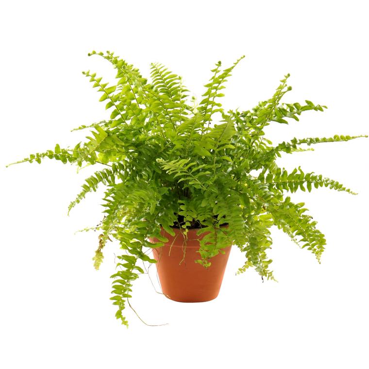 Plante à coupe variété au choix en pot en terre Ø 9 cm 304302