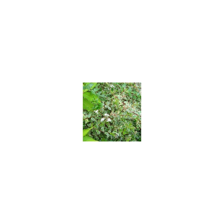 Abelia Grandiflora Kaléidoscope – 3L 561290