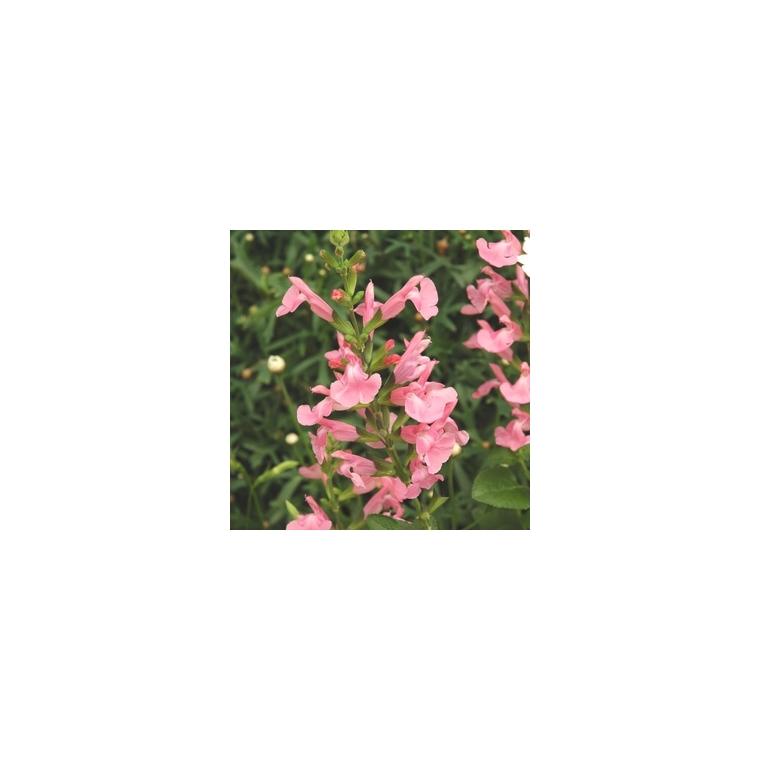 Salvia Gregii. Le pot de 1 litre 214268