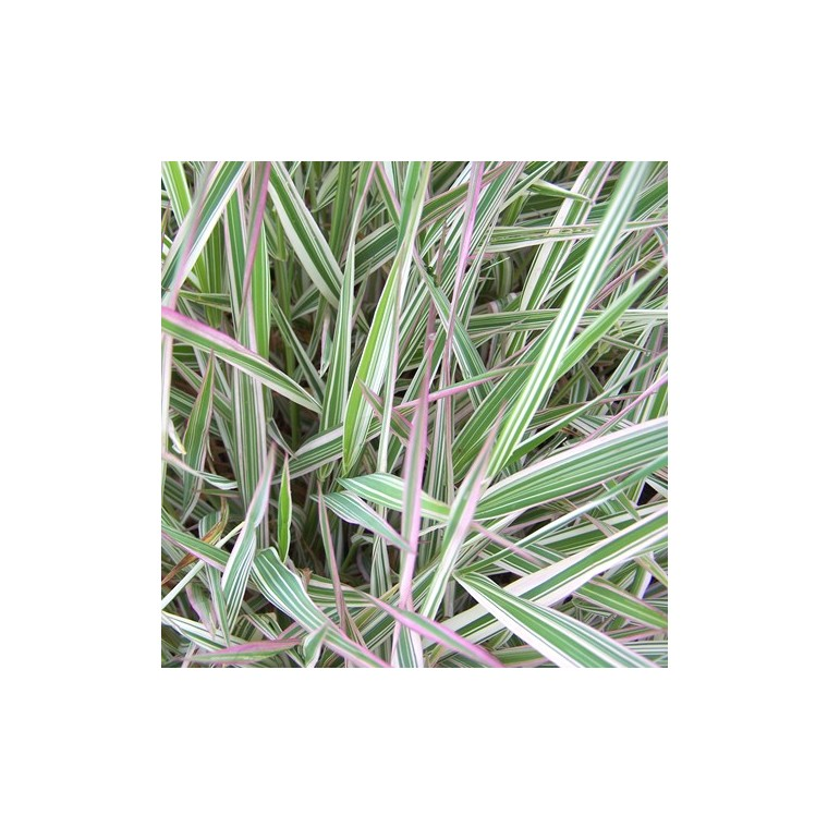 Phalaris Arundinacea. Le pot de 3 litres