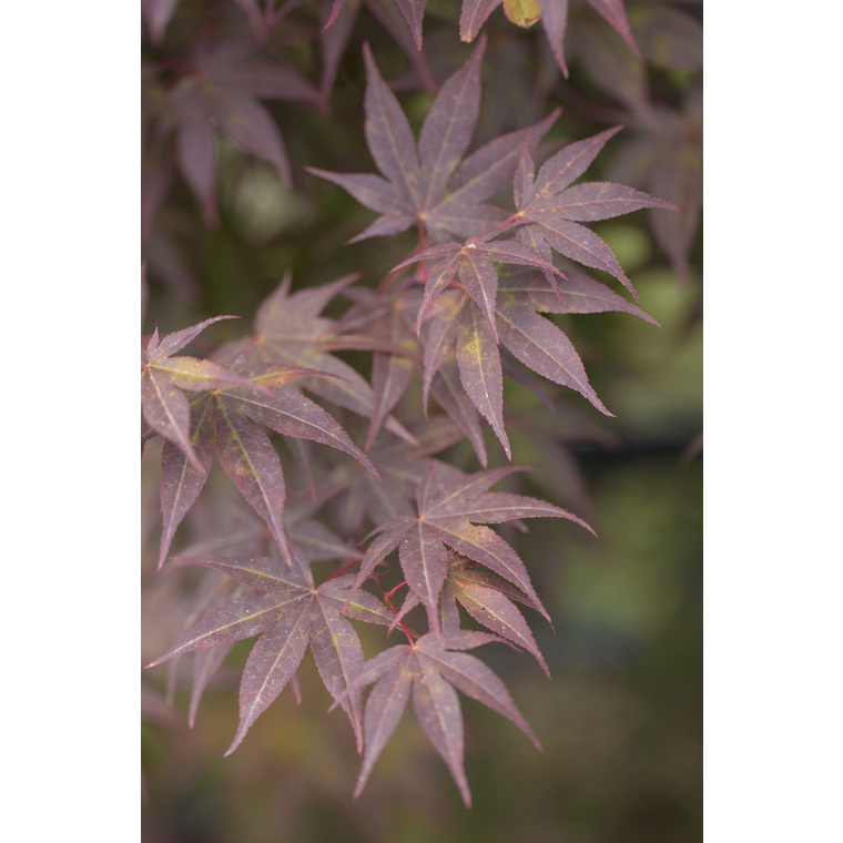Acer Palmatum atropupureum rouge pot de 80L 308491
