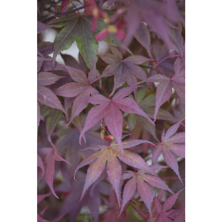 Erable du Japon (ACER PALMATUM BLOODGOOD ) Le pot de 7 litres 308676