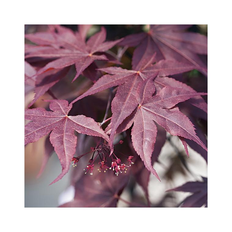 Acer Palmatum bloodgood rouge pot de 50L 308680