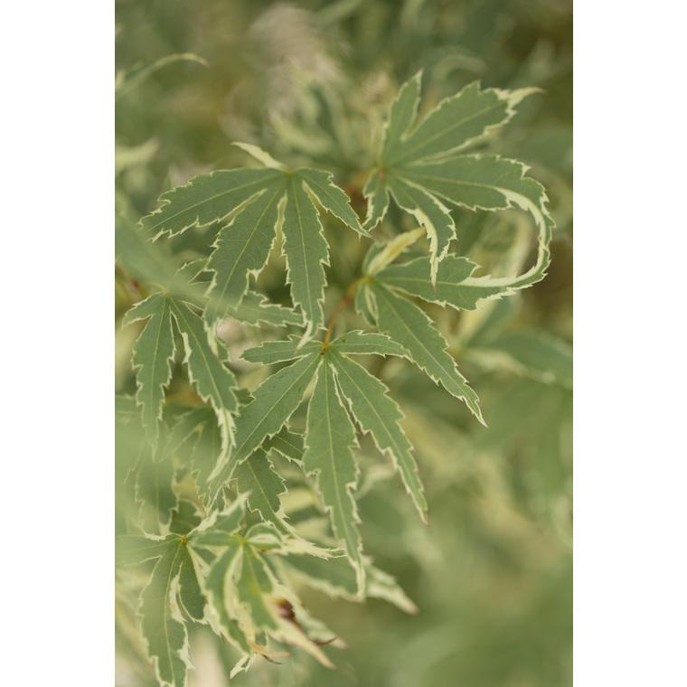 Acer Palmatum butterfly vert pot de 3L 308770