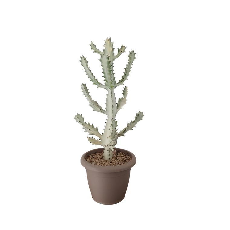 Cactus blanc euphorbia lactea en pot Ø 40 cm 308831