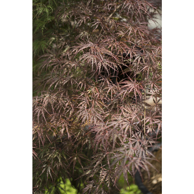 Acer Palmatum crimson queen rouge pot de 3L 308961