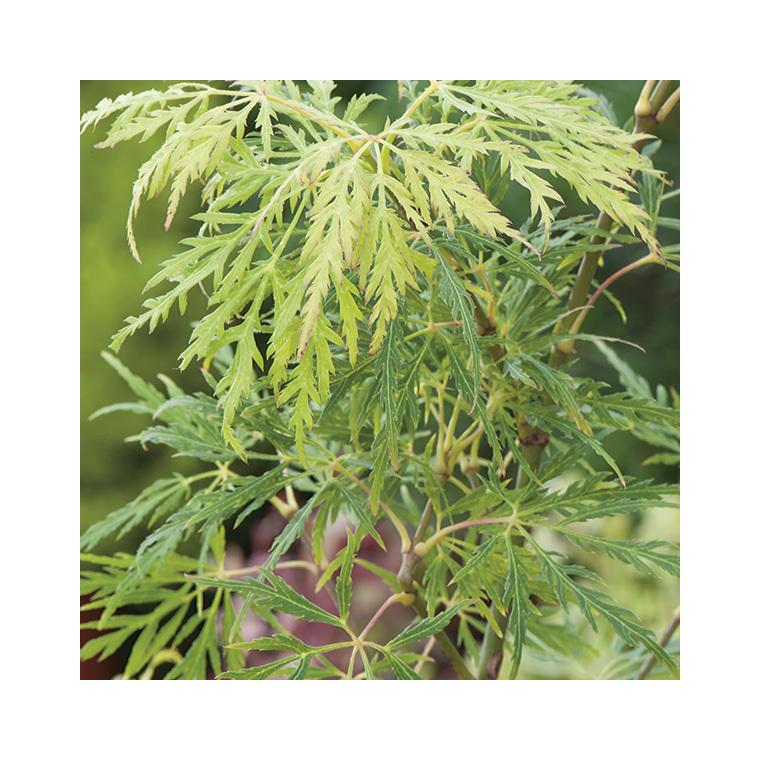 Acer Palmatum Dissectum Flavescens – Pot de 50L 308987