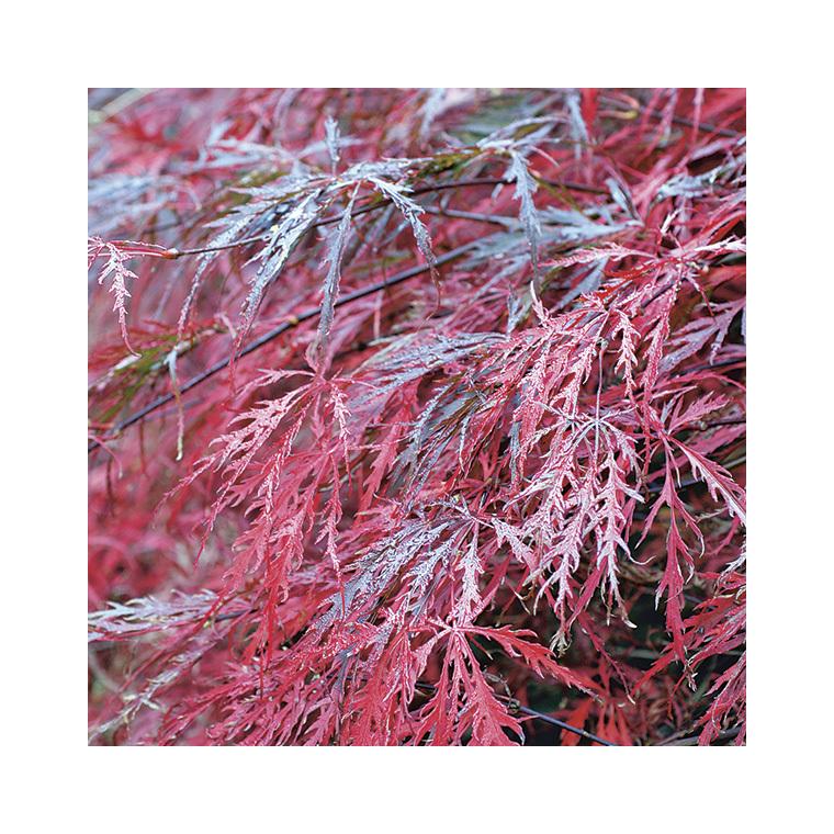 Acer Palmatum dissectum garnet rouge pot de 50L 308992