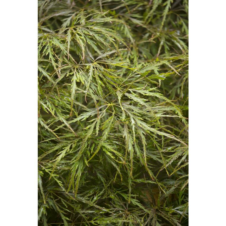 Acer Palmatum dissectum ornatum vert pot de 50L