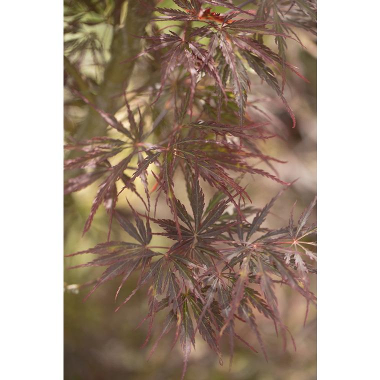 Acer Palmatum dissectum tamuke rouge pot de 50L