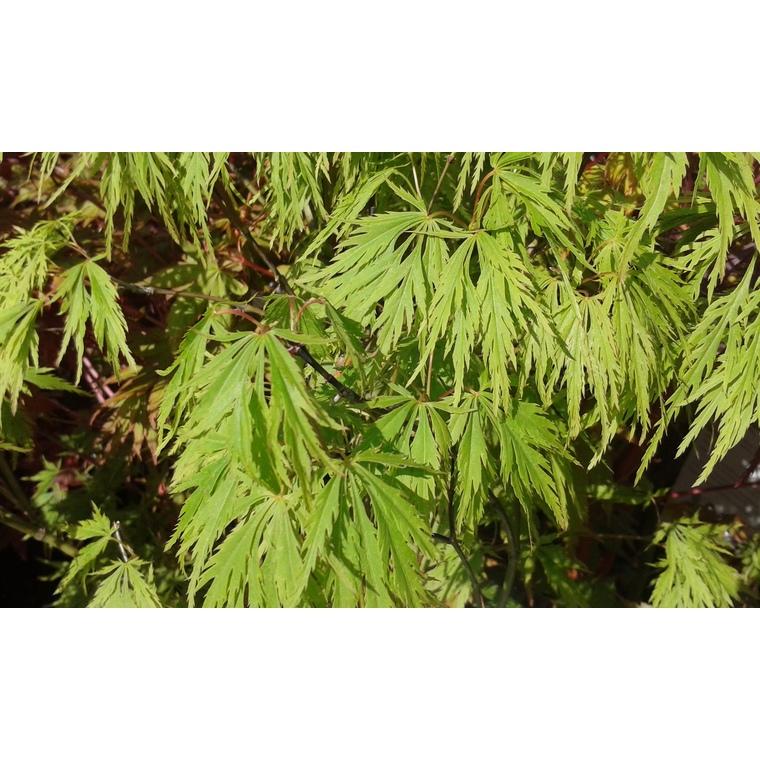 Acer Palmatum dissectum viridis vert pot de 50L 309022