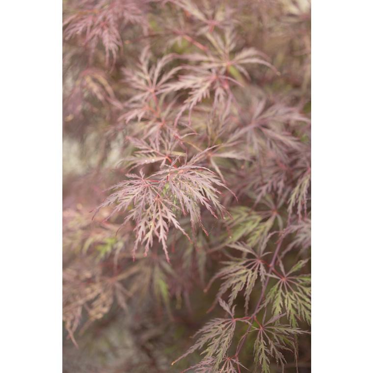Acer Palmatum Inaba Shidare rouge pot de 30L