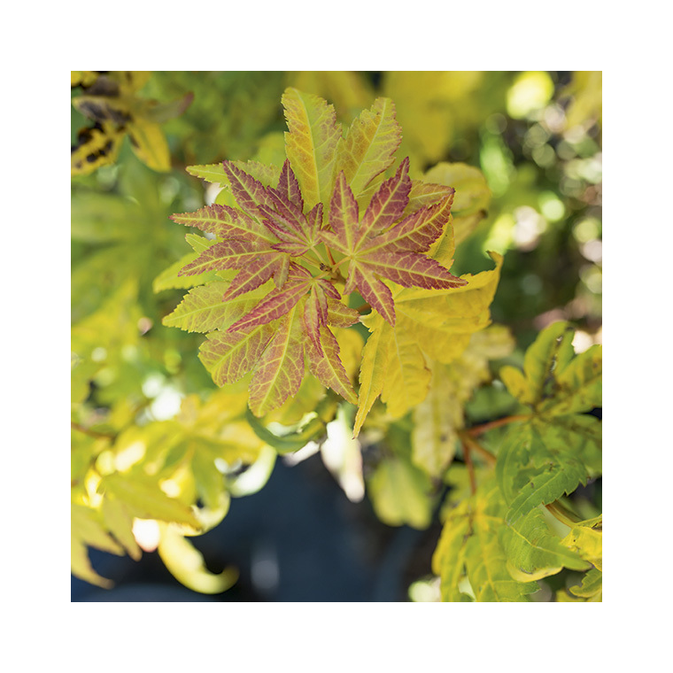 Acer Palmatum orange dream jaune pot de 30L 309043
